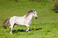 Gray arab horse gallops on a green meadow Stock Photos