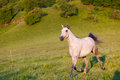 Gray arab horse gallops on a green meadow Stock Photo