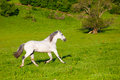 Gray arab horse gallops on a green meadow Royalty Free Stock Photo