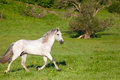 Gray arab horse gallops on a green meadow Royalty Free Stock Image