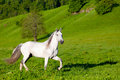 Gray arab horse gallops on a green meadow Royalty Free Stock Photography