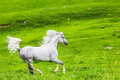 Gray arab horse gallops on a green meadow Stock Photography