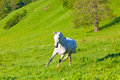 Gray arab horse gallops on a green meadow Royalty Free Stock Photos