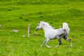 Gray arab horse gallops on a green meadow Royalty Free Stock Images