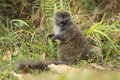 Gray bamboo lemur the sitting in the grass Royalty Free Stock Photos