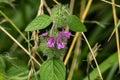 Gray Beardtongue – Penstemon canescens Royalty Free Stock Photo