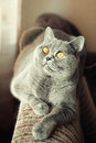Gray british cat lying near the window close up Stock Photos
