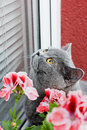 Gray british cat sitting on the window sill and look in Stock Photos