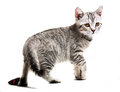 Gray british kitten Stock Photography