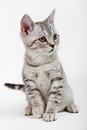 Gray british kitten Stock Photos