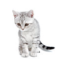 Gray british kitten Royalty Free Stock Photos