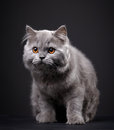 Gray british longhair kitten on black background month old Stock Photography