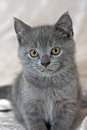 Gray British Shorthair Royalty Free Stock Images