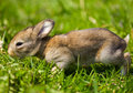 Gray bunny in green grass Stock Photography