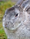 Gray Bunny Rabbit Close  Photographie stock libre de droits