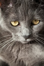 Gray Cat Royalty Free Stock Photo