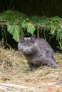 Gray cat in a barn on hay Royalty Free Stock Photo