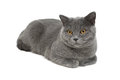 Gray cat breed scottish straight close up on white background horizontal photo Stock Photos