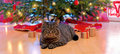 Gray cat and christmas tree. Royalty Free Stock Photo