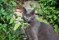 Gray cat green eyes from the garden of roses in florence must be saw sometning strange and made this aspect blue short haired Royalty Free Stock Photos