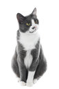Gray cat isolated white Royalty Free Stock Image