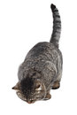 Gray  cat lies on a white background and looking at the b Royalty Free Stock Photo