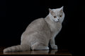 Gray cat looking a side Royalty Free Stock Photo