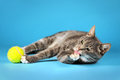Gray cat lying on a blue background, and playing with the tennis ball, and licking its paw Royalty Free Stock Photo