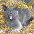 Gray cat lying on hay and yawning Royalty Free Stock Photo