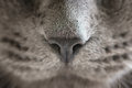 Gray cat nose close up photo