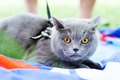 Gray cat in the park with orange eyes are walking Royalty Free Stock Image