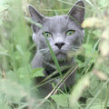 Gray cat portrait Royalty Free Stock Photo