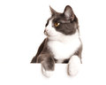 Gray cat serie isolated white Royalty Free Stock Image