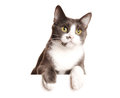 Gray cat serie isolated white Royalty Free Stock Photos
