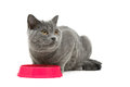 Gray cat sits beside a bowl of food on white background Royalty Free Stock Photo