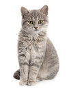 Gray cat sitting