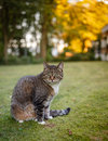 Gray cat watching her revier female sitting on medow and nice evening bokeh Royalty Free Stock Images