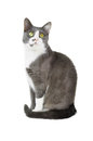 Gray cat white background Stock Photo