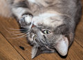 Gray cat white and lying on the wooden floor Royalty Free Stock Photos