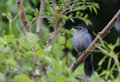 Gray Catbird Stock Photography