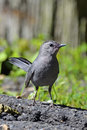 Gray Catbird Royalty Free Stock Photography