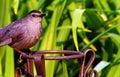 Gray Catbird Stock Photography