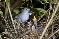 The gray catbird (Dumetella carolinensis) feeding. Royalty Free Stock Images
