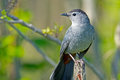 Gray catbird perched on a branch Royalty Free Stock Image