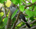 Gray catbird a perched in a tree at the chicago botanical gardens Royalty Free Stock Photos