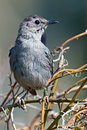 Gray catbird sitting on some branches Stock Photo