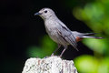 Gray catbird sitting on tree stump Royalty Free Stock Photography