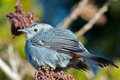 Gray catbird standing in a tree of berries Stock Image