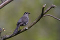 Gray catbird on a tree Royalty Free Stock Images