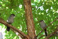Gray Catbirds Stock Photography